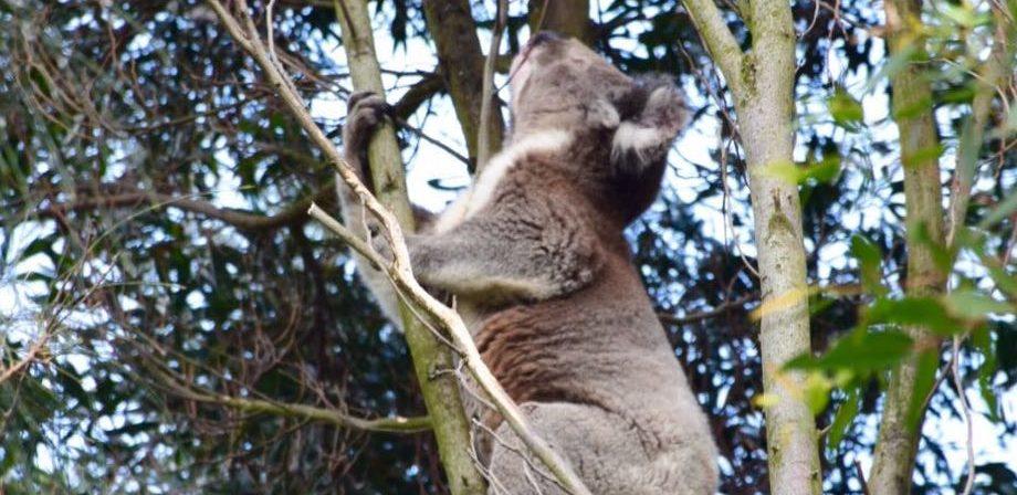 Animales de Australia